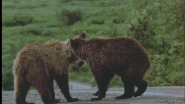Wide shot of Grizzly bear cubs playing on a road in the Denali National Park, Alaska Royalty-free stock video