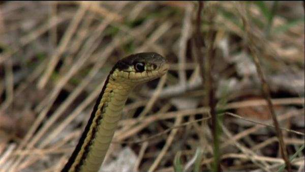 Medium close-up shot of a Red-sided garter snake staring in the grass Royalty-free stock video