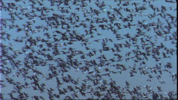 Wide shot of a flock of snow geese in flight Royalty-free stock video