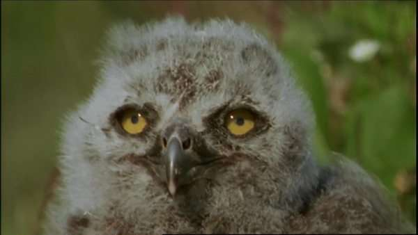 Close-up shot of a snowy owl chick Royalty-free stock video