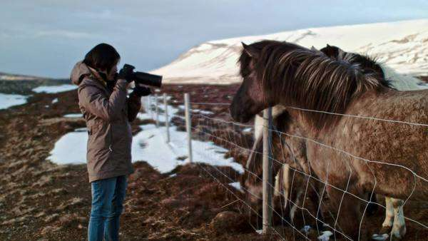 Woman photographing Icelandic horses on travel vacation Royalty-free stock video