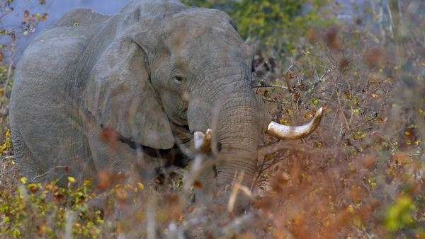 Lone elephant eating bush branches in Africa safari Kruger park Royalty-free stock video