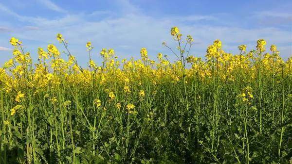Czech republic bright yellow flowers of oilseed rape in spring vast field of bright yellow rapeseed flowers and blue sky royalty mightylinksfo Images