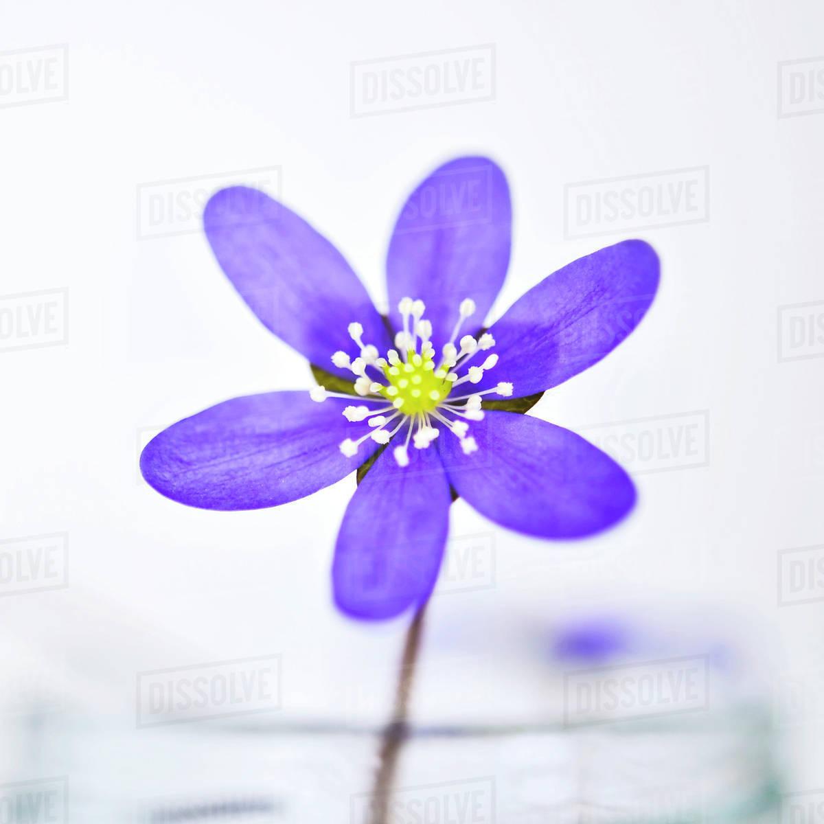 Purple Flower On White Background Stock Photo Dissolve