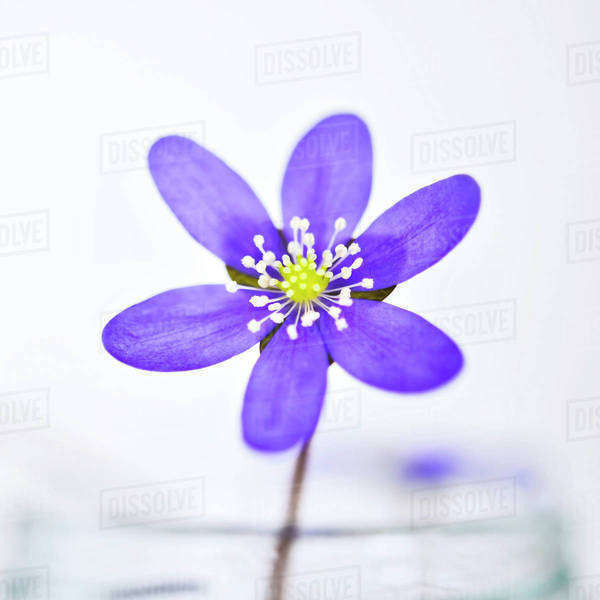 Purple flower on white background Royalty-free stock photo