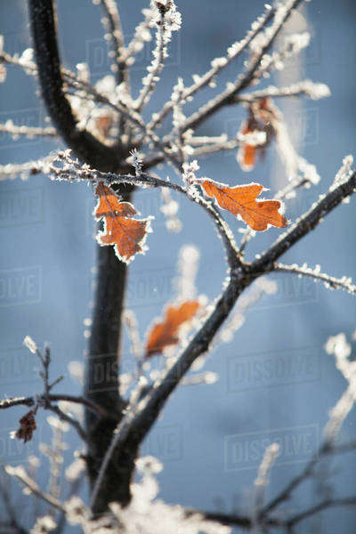 Selective focus of dried leaves on frosty plant Royalty-free stock photo