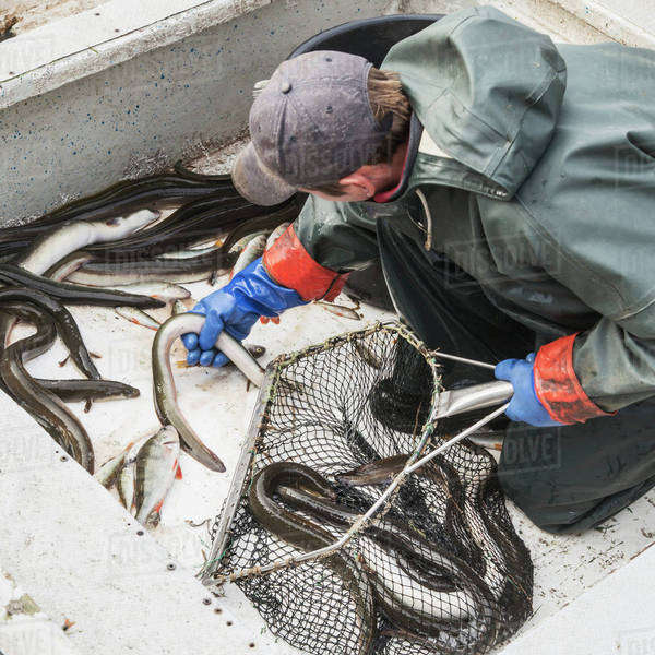 Fisherman putting fresh eels in net on boat Royalty-free stock photo