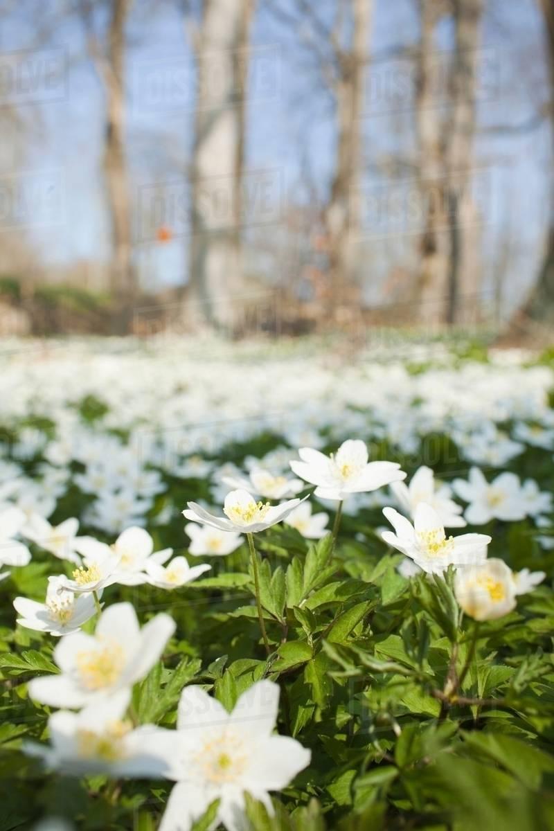 Field Of White Flowers Stock Photo Dissolve