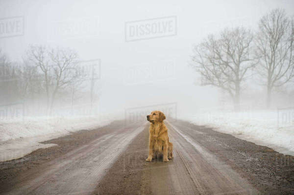 Golden retriever sitting in middle of dirt road in fog Royalty-free stock photo