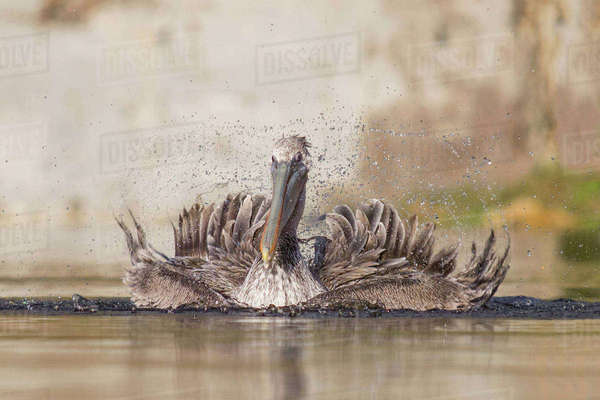 Brown pelican, Pelecanus occidentalis, juvenile Royalty-free stock photo