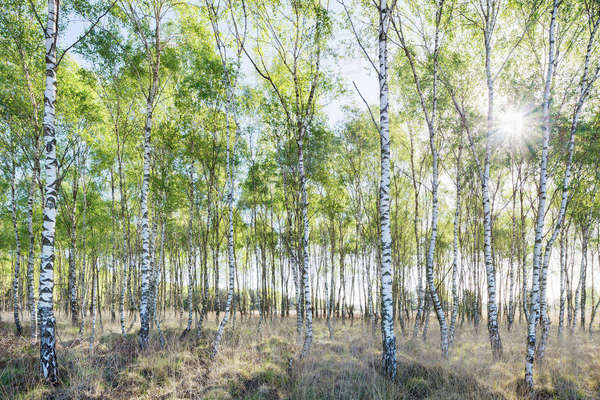 Birch trees in spring morning sunlight Royalty-free stock photo