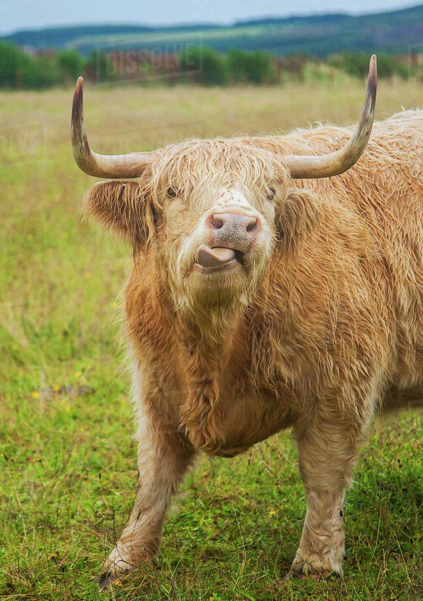 Portrait Of Highland Cow With Tongue Out Scotland Uk Stock Photo