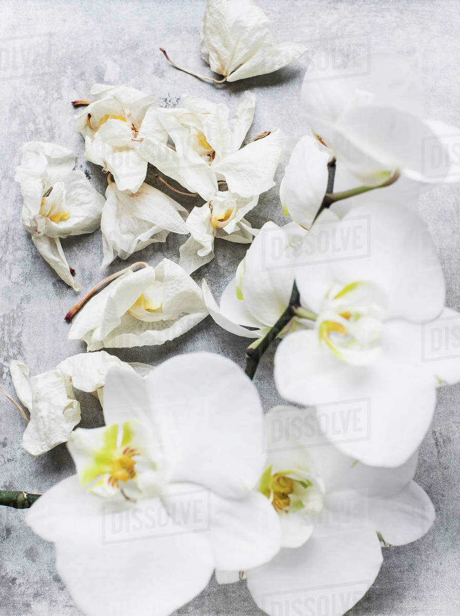 White Orchid Flowers Close Up Overhead View Stock Photo Dissolve
