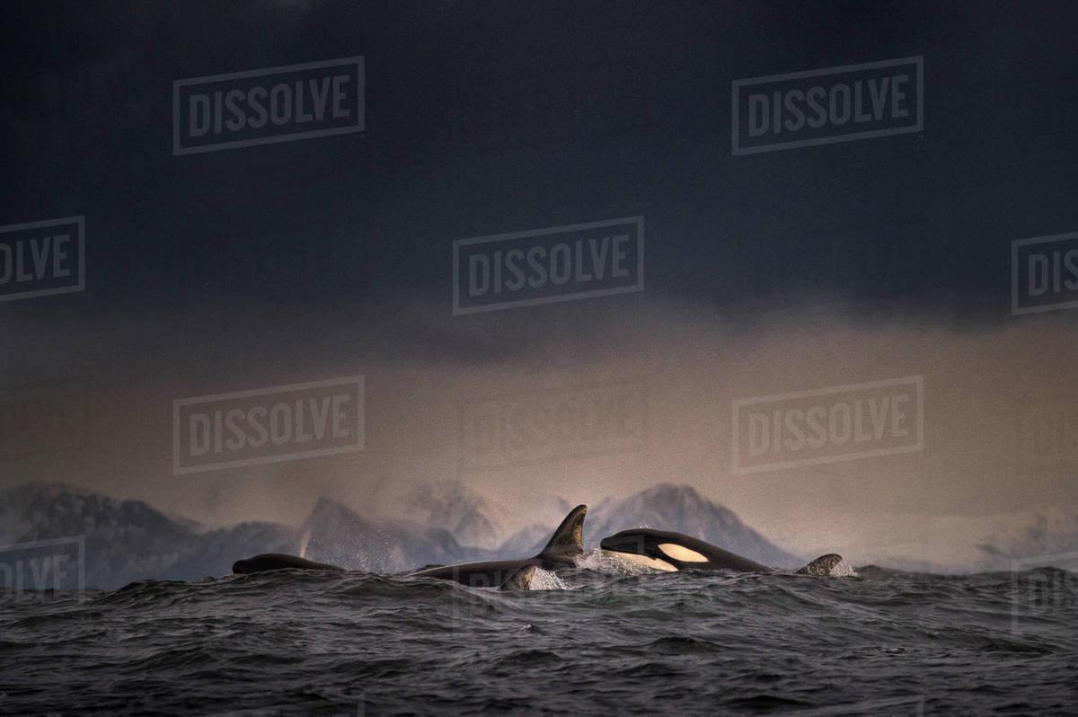 Dark overcast above school of killer whales (orca) in sea, Lofoten, Norway Royalty-free stock photo