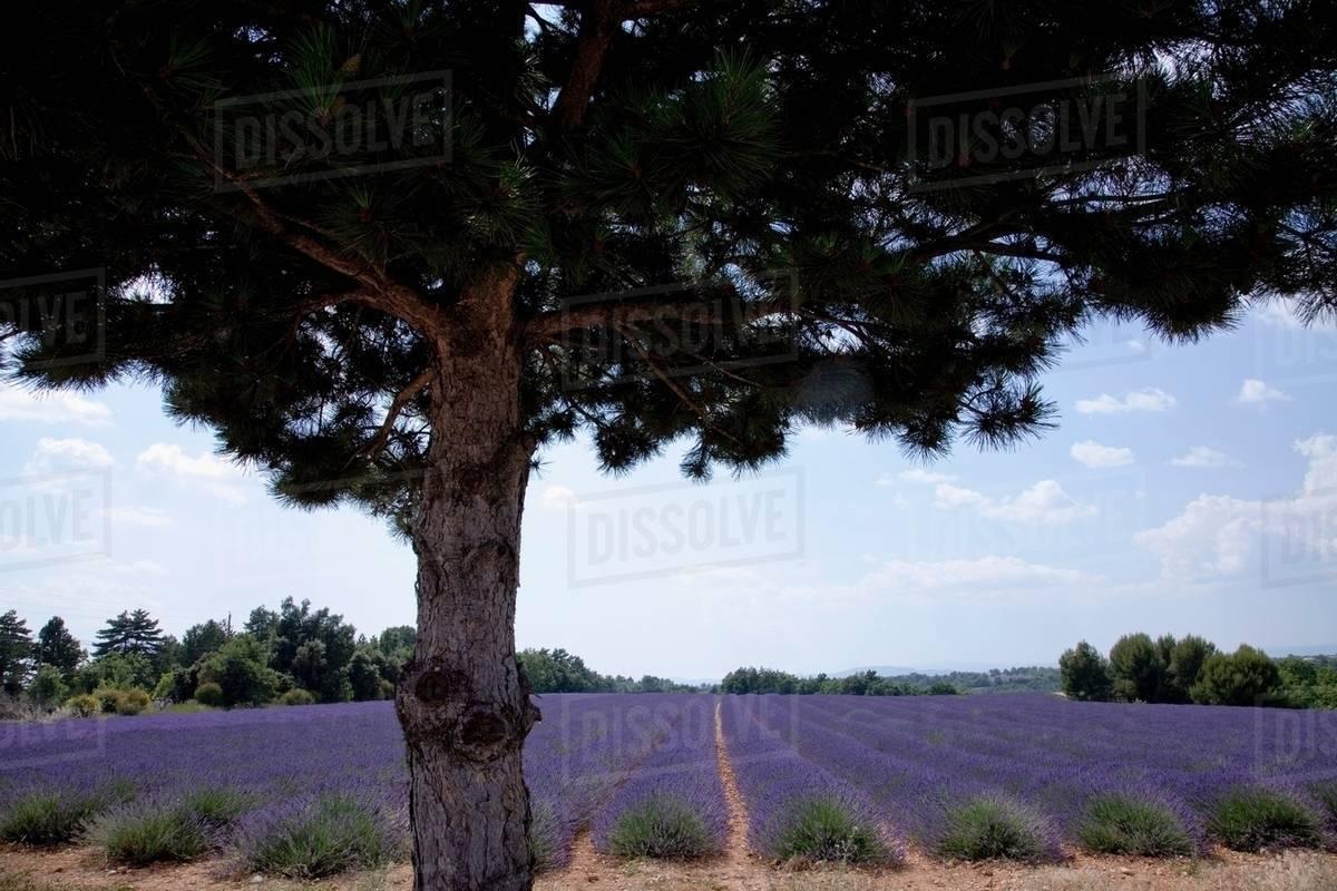 Tree Growing By Field Of Purple Flowers Stock Photo Dissolve