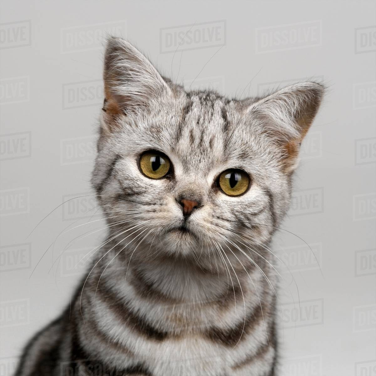 young silver tabby cat stock photo dissolve