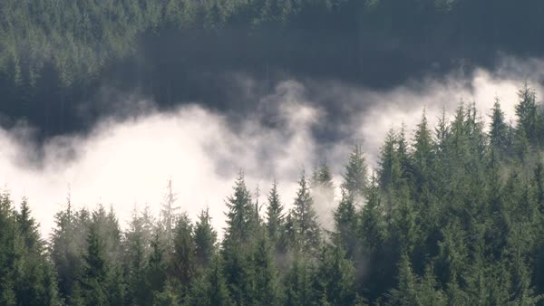 Clouds rolling in and out of thick, dense forest in the Pacific Northwest coastal mountain range. Royalty-free stock video