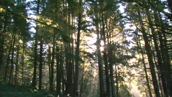 Majestic sun light finds its way through trees in dense forest. Royalty-free stock video
