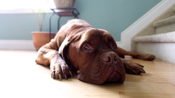 Large dog lounges on hardwood floor Royalty-free stock video