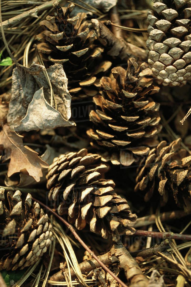 Pine Cones Full Frame