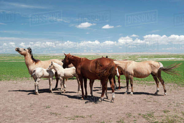 Wild horses in Badlands National Park, South Dakota, USA Royalty-free stock photo