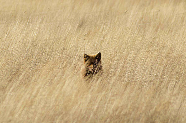Red fox hiding in tall grass Royalty-free stock photo