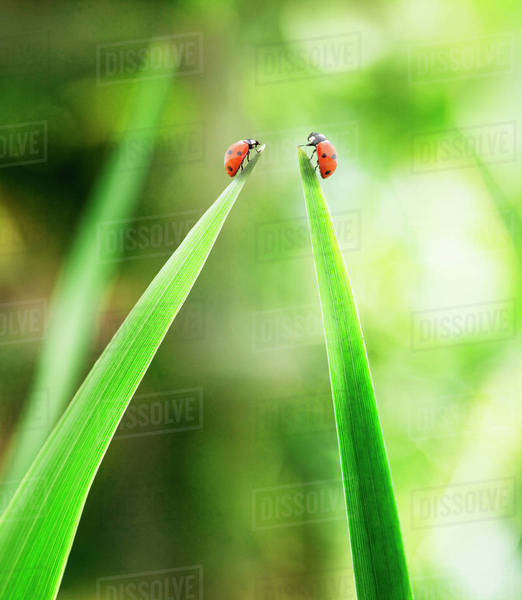 Ladybugs on tips of leaves Royalty-free stock photo