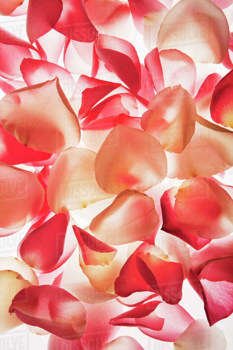 Close Up Of Peach And Pink Flower Petals Stock Photo Dissolve
