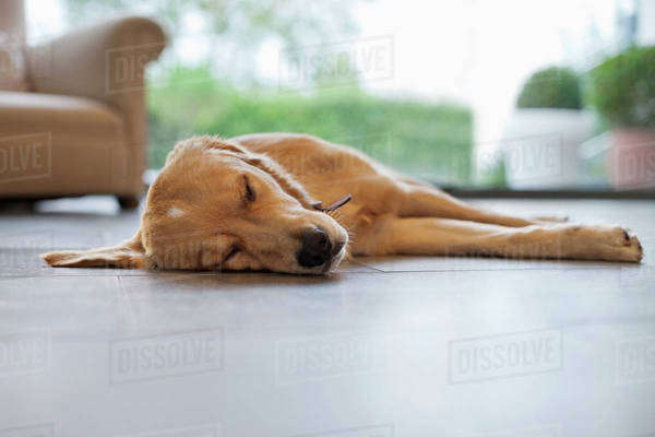 Dog sleeping on living room floor Royalty-free stock photo