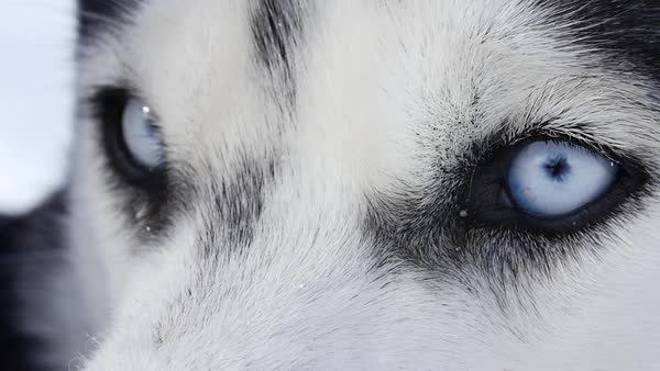 Close-up shot of eyes of a husky Royalty-free stock video
