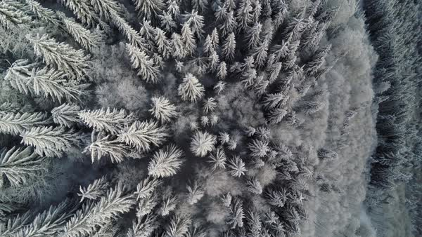 Aerial view of a snow covered pine forest Royalty-free stock video
