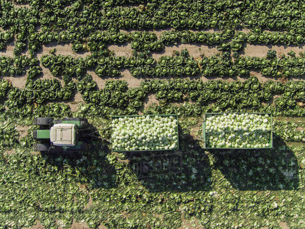 Directly above view of tractor and trailers of cabbage in field, St. Poelten, Austria Royalty-free stock photo