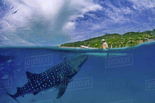 Whale shark swimming in sea below a man kayaking Royalty-free stock photo