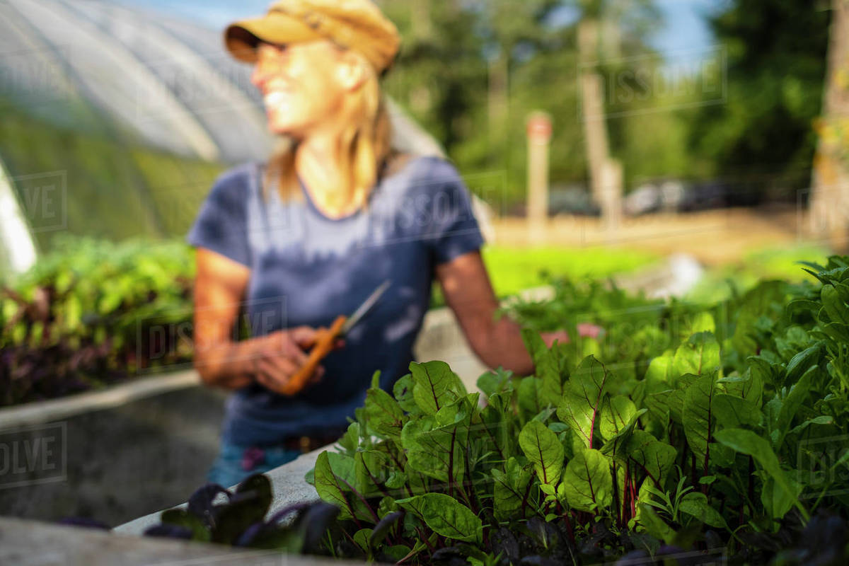 Happy female farmer harvesting fresh red dandelion greens Royalty-free stock photo