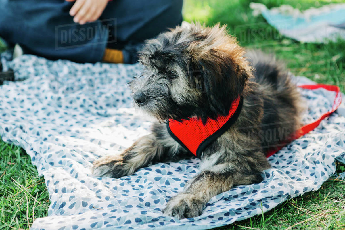 Barbado da Terceira puppy relaxing on picnic blanket in grass Royalty-free stock photo