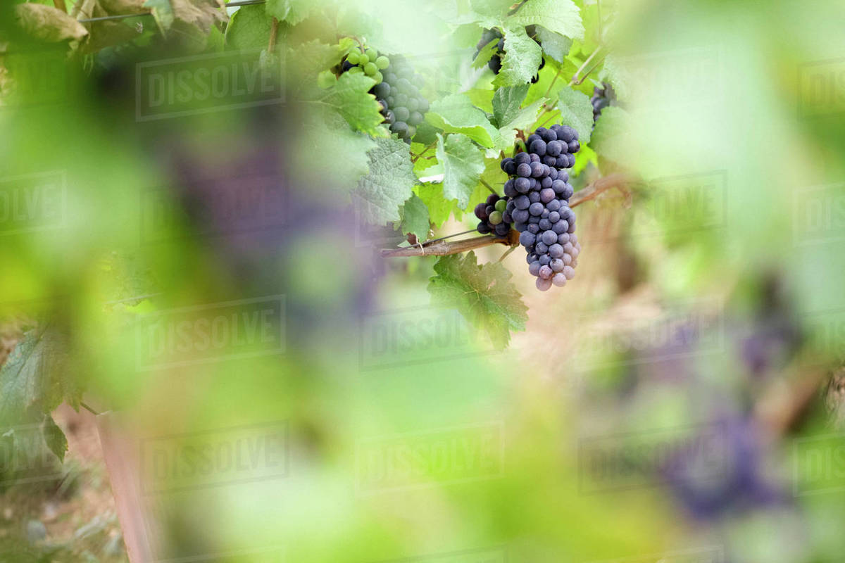 Wine grapes growing in vineyard Royalty-free stock photo