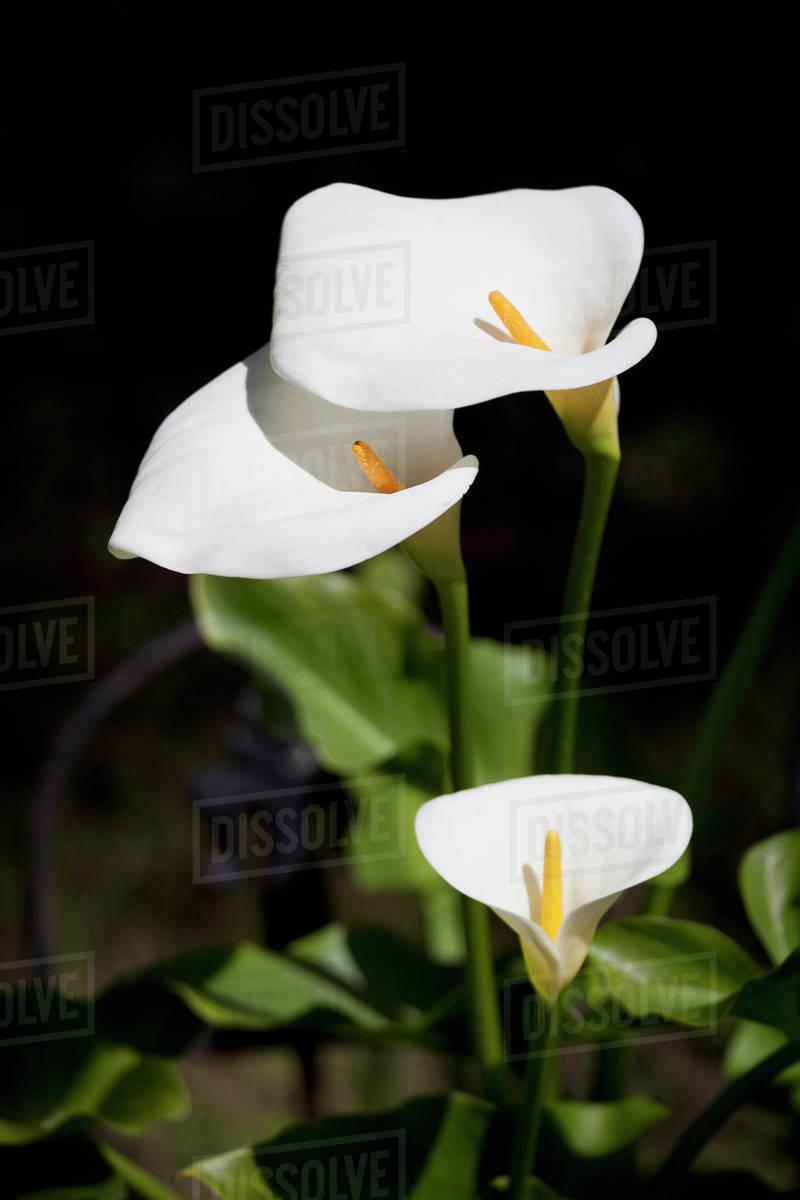 White Calla Lilies Stock Photo Dissolve